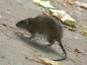 Крыса в куче мусора